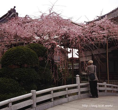 桜とおじさん 2015/3/27