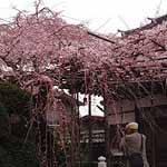 桜とおじさん 2015/3/27 サムネイル