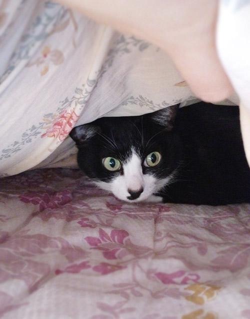 ベッドの中で来客におびえるクロ