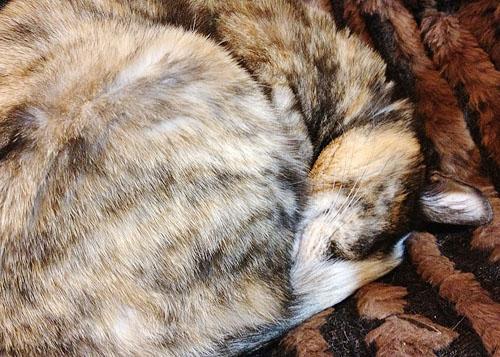 眠るチョビ