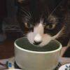 【腎臓病の猫の水分補給:水をたくさん飲んでもらう方法】
