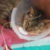 【保護猫退院・経鼻チューブによる流動食に初挑戦!】