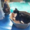 【猫たちの近況~フク誤飲、クロ体重減少、チョビシロは元気。】