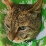 【顔がはれた?!頬に膿がたまった保護猫フクの受難】