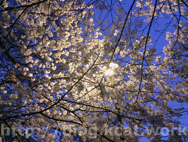 夜桜 0218/3/26