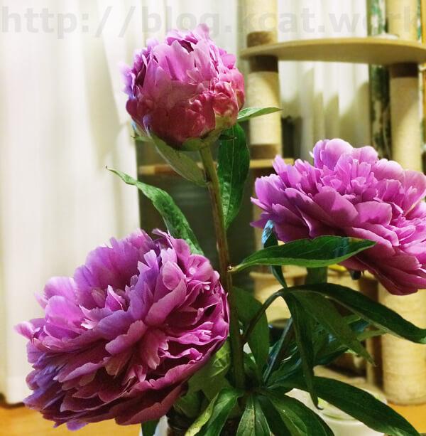 いただきものの芍薬の花