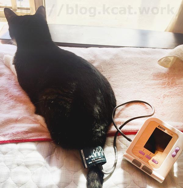 クロの血圧測定(腕帯ゆるすぎた)