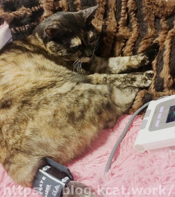 ペット用血圧計ERDE(エルデ)で猫の血圧計測中