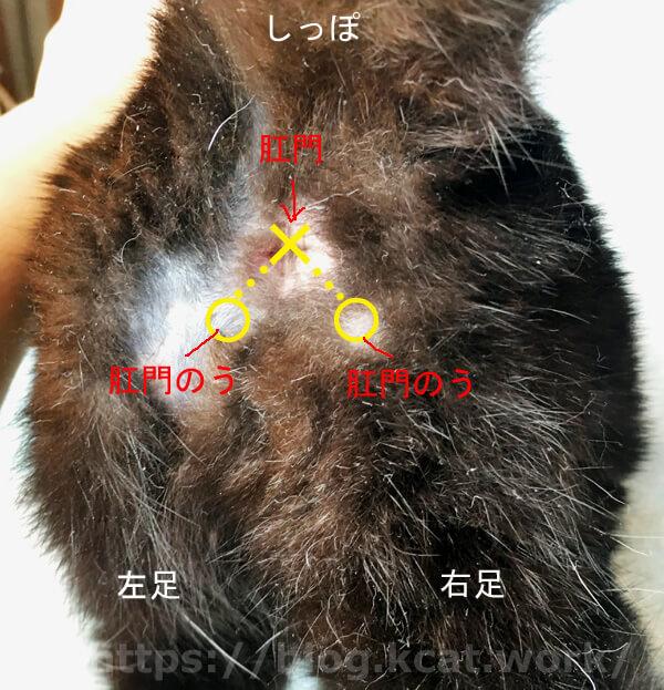 猫の肛門嚢(のう)の位置